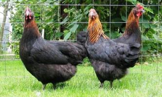 Вітчизняна м`ясо-яєчна московська чорна порода курей і її гідності