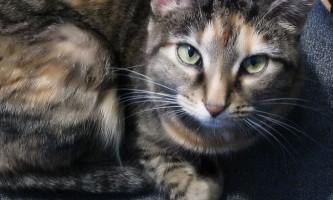 Набряк легень у кота: симптоми і лікування