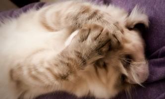 Отит у кішок - симптоми і лікування