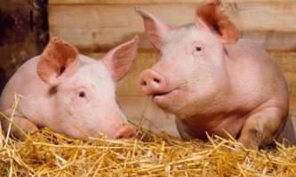 Відгодівлю свиней в селянських господарствах для отримання бекону