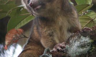 Відкрито новий вид хижого ссавця - котомедведь олінгіто