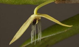 Відкрито першу в світі нічна орхідея