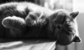 Відмінність британців від шотландських висловухих кішок