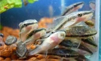 Отоцинклюс і інші акваріумні чистильники