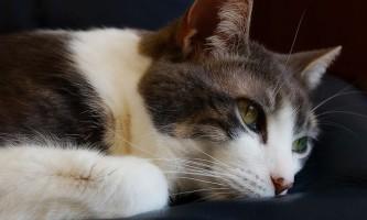 Отодектін: інструкція із застосування для кішок