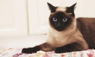 Отоферонол: інструкція із застосування для кішок