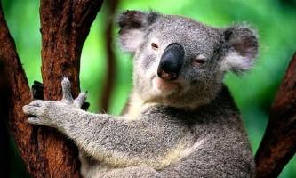 Відбитки пальців у коал практично ідентичні людським