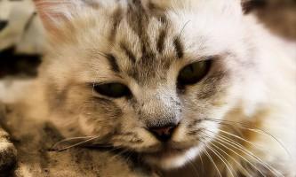 Отруєння у кішок - симптоми і лікування