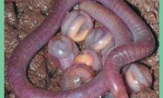 Отрядамфібіі безногі / gymnophiona