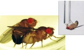 Відкинута любов породжує алкоголізм серед мух