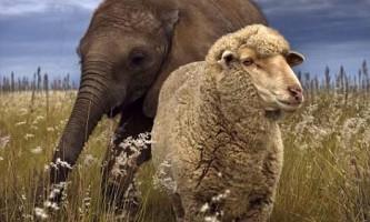 Вівця усиновила осиротілого шестимісячного слоненяти