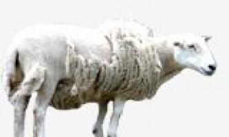 Вівцям більше не знадобиться перукар