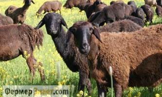 Вівчарство як бізнес: з чого почати?