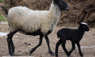 Переваги та недоліки розведення романівських овець