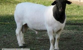 Особливості утримання та розведення овець породи дорпер