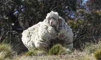 Вівцю, яка може померти від надлишку вовни, пострижуть під наркозом