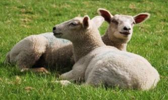 Вівці: правильний догляд