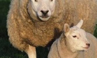 Вівці відео