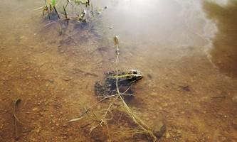 Озерна жаба
