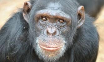 В сша шимпанзе визнали людиною