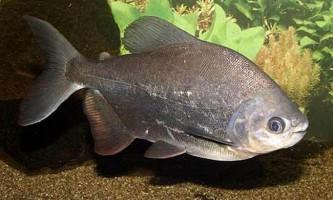 Паку - прісноводна риба з зубами