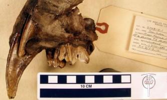 Палеонтологи розкрили секрет зубів стародавніх шаблезубих кішок