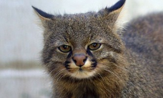 Пампасская кішка (лат. Leopardus colocolo)