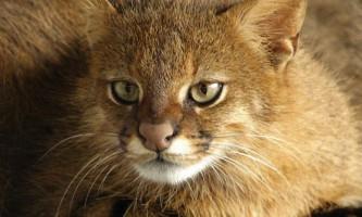 Пампасская кішка: опис, фото і відео