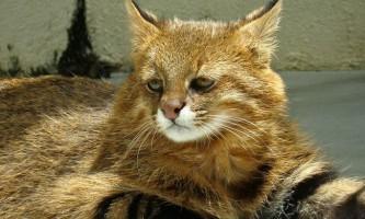 Пампасская кішка - все про життя нічного хижака