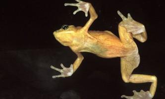 Панамська золота жаба (panamanian golden frog)