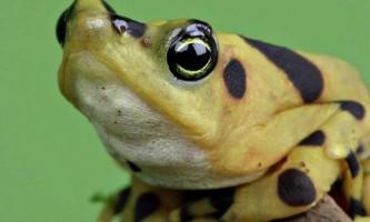 Панамська золотиста жаба - отруйна скарб