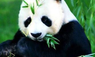 Панда прикинулася вагітної, щоб отримати більше булочок і фруктів