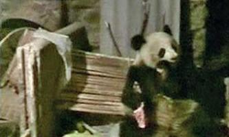 В китаї голодна панда напала на свинарник