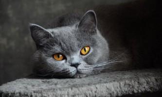 Панлейкопенія (чума у кішок): симптоми, лікування профілактика