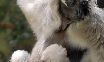 Пара літніх черношапочний гібонів піднесла сенсацію