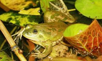 Парадоксальна жаба і її незвичайні назви