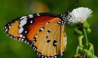 Паразит перетворює метеликів в «фатальних жінок»