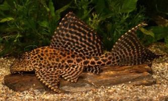Парчевий сомик - кращий чистильник акваріума