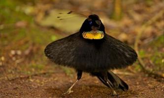 Паротит керол - райський птах