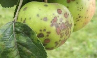 Парша яблуні: боротьба і профілактика