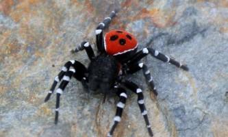Павук сонечко: зовнішній вигляд, спосіб життя і розмноження