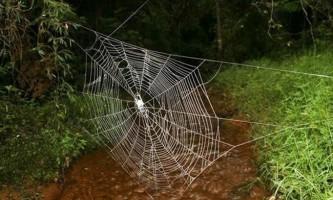 Павук caerostris darwini плете найбільшу павутину