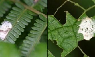 Павук cyclosa ginnaga ховається від хижаків, маскуючись під пташиний послід