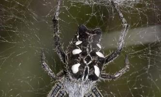 Павук дарвина - творець гігантських паутин