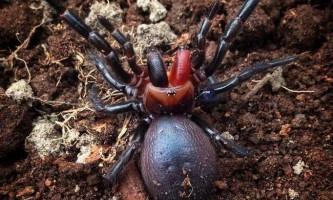 Павук-дракула: правда чи міф?