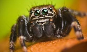 Павук evarcha culicivora воліє полювати на самок комарів