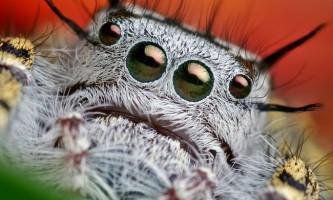 Павук-птахоїд. Фото гігантського павука