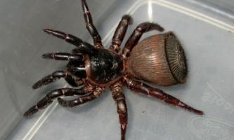 Павуки ціклокосмія (cyclocosmia)