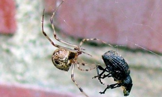 Павуки-кругопряди продовжують підкидати біоінженерії нові ідеї