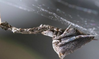 Павуки-улоборіди плетуть неймовірно довгу і міцну павутину